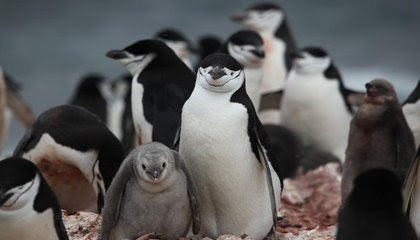 Preliminary Census Documents Antarctica's Chinstrap Penguins in Sharp Decline image