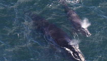 Three Endangered Right Whale Calves Spotted in New England Waters image