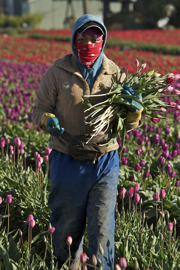 person working hard in the tulip fields at harvest