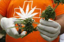 Cannabis: la historia de la hipocresía humana