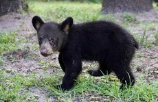 Maximus the bear cub weighed only 4 pounds when he was found.