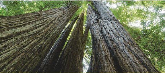 Photo Looking Upwards toward tree tops