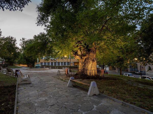 Y la vieja morera de Veliki Preslav, Bulgaria.