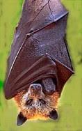 Golden_crowned_fruit_bat