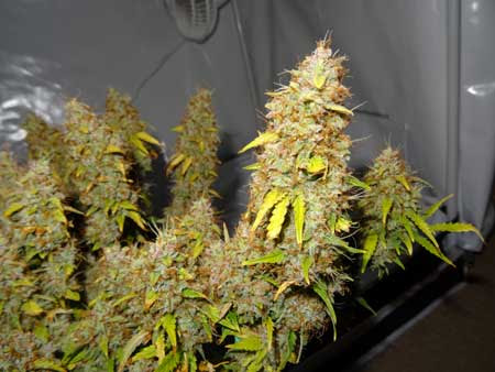 A closeup of a Sour Diesel cola just before harvest