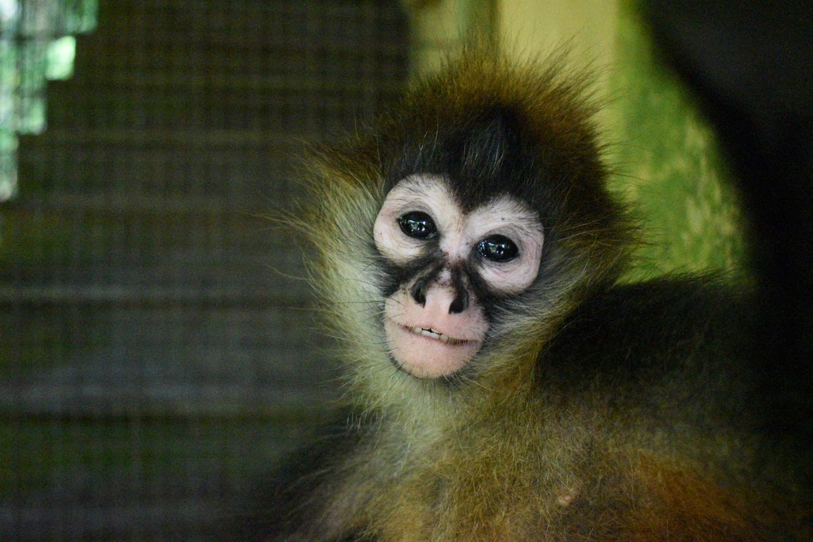 Young spider monkey looking into camera