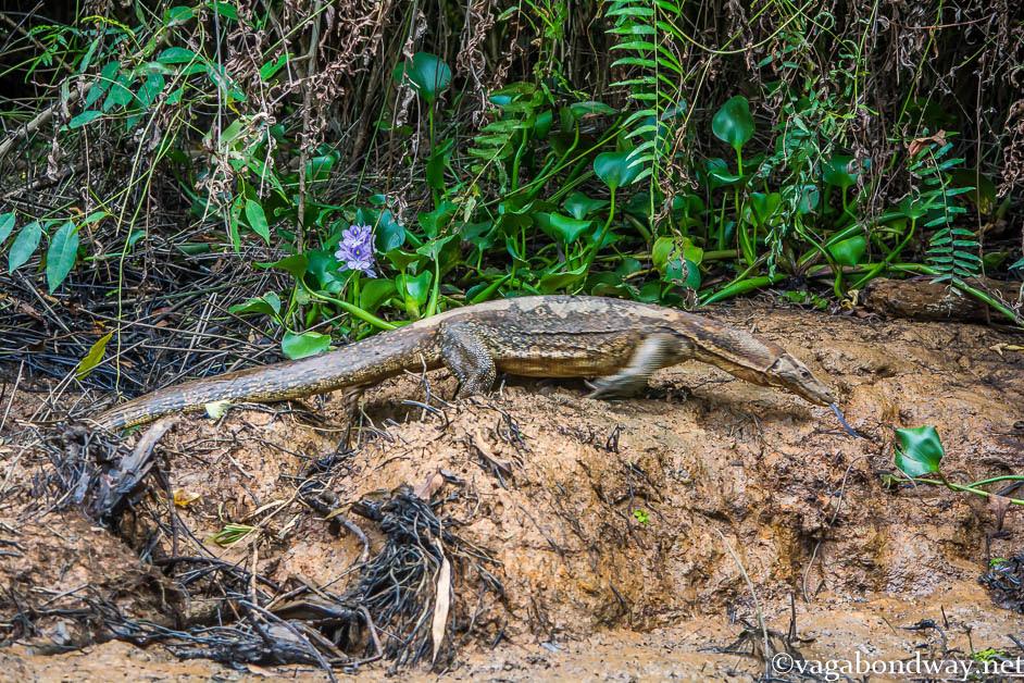 monitor-lizard-kinabatangan-malaysia