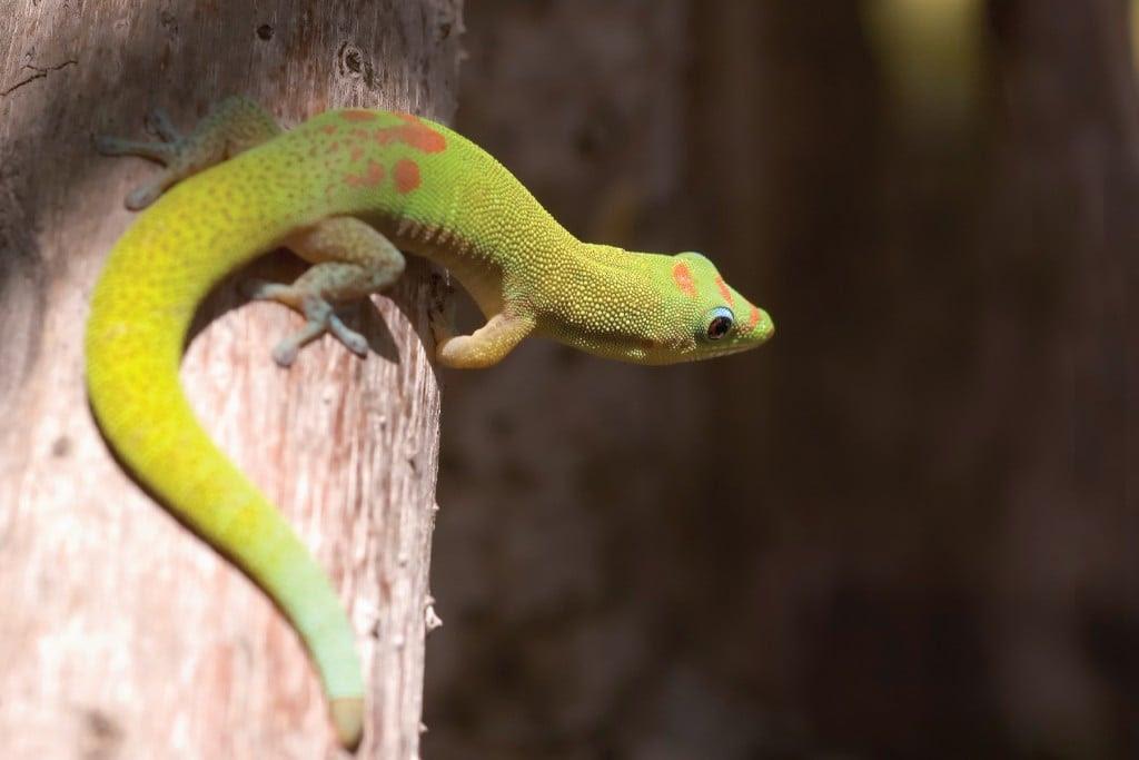 Gold Dusted Day Gecko, Phelsuma laticauda | Photo: Patrick Kavanaugh