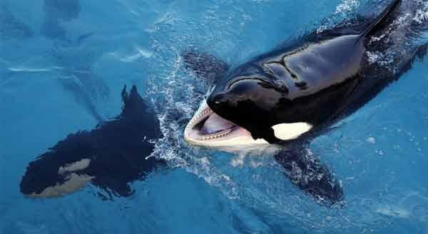 A orca que papagueia