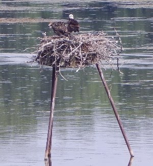 Osprey chick on nesting platform