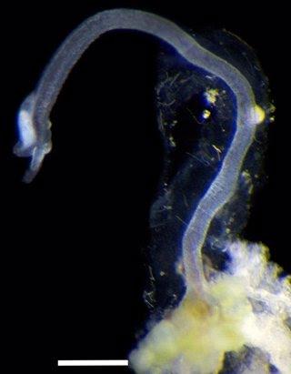 Osedax priapus adherido a un hueso