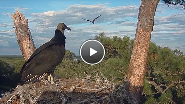 Black Vulture watches Osprey flyover