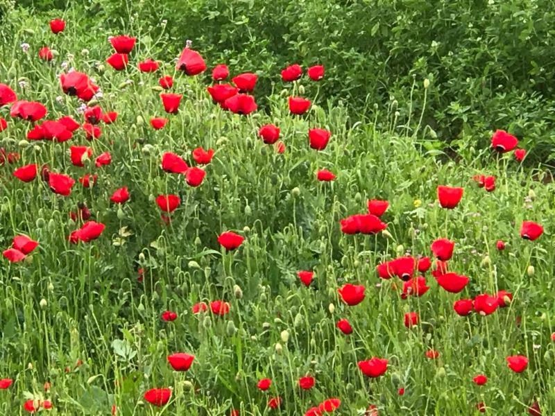 Spring Flowers in Galilee