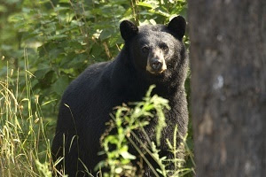 Black bear in the woods, Iron River, Michigan