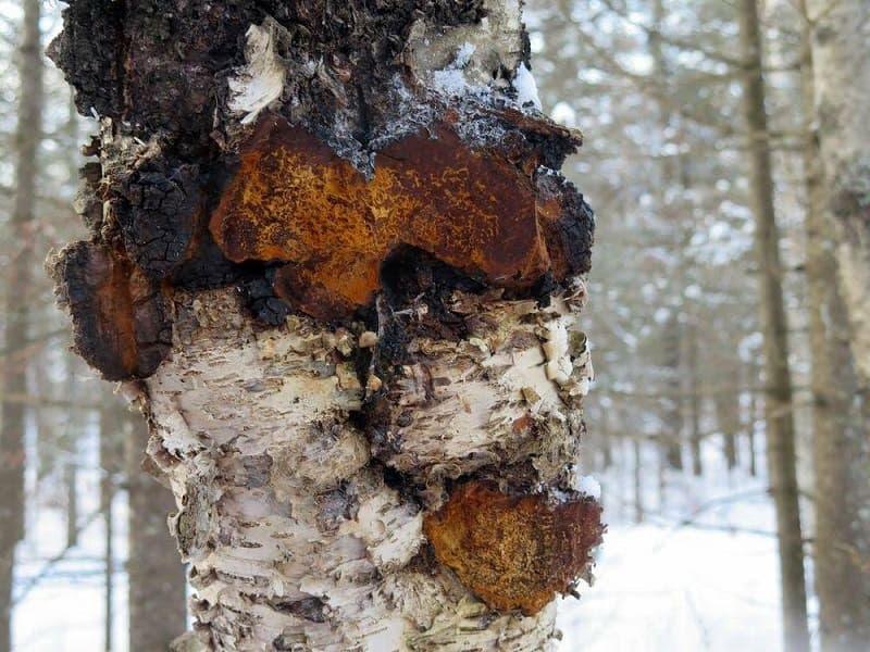 Чага берёзовая в лесу