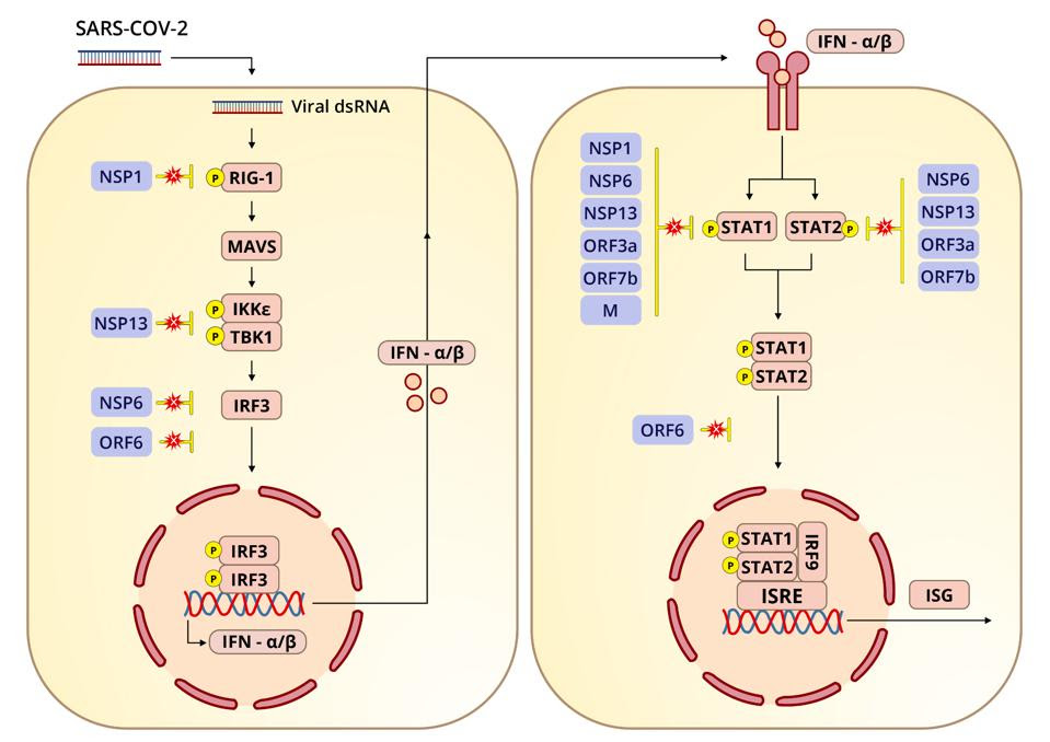 Diagram depicting how SARS-CoV-2 interferes with interferon signaling pathways