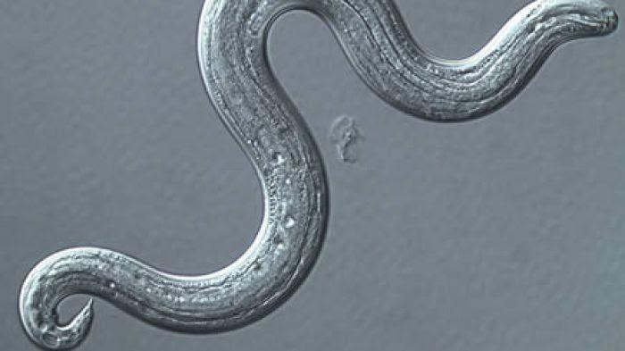 Ver-parasite