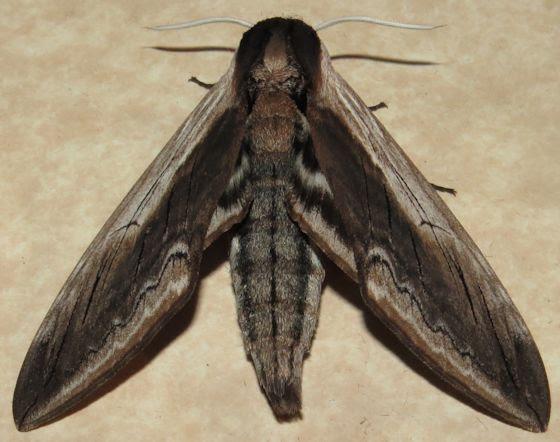 Image result for Wild cherry sphinx moth Sphinx drupifera rum