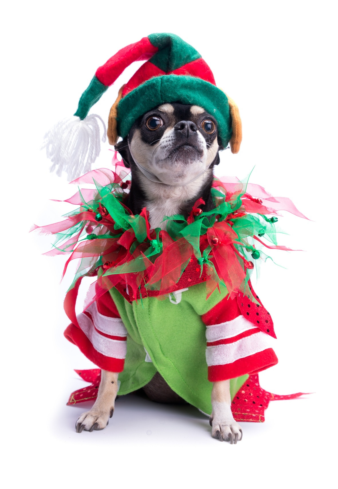 Holiday Elf Chihuahua