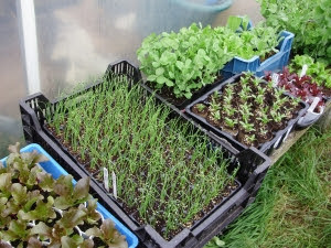 Lettuces, onions, parsnips and mangetout peas - hardening off outside tunnel, raised on upturned plant crates to keep any hungry slugs at bay!