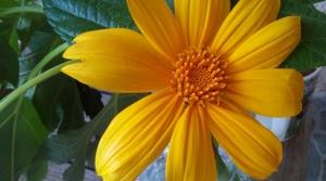 Bolivian Sunflower