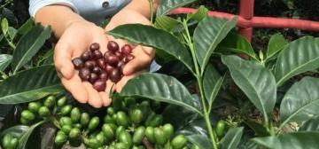 La fusión Rainforest Alliance - UTZ generará más ventas certificadas