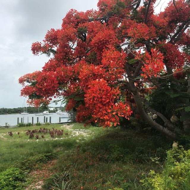 Royal Poinciana in Hope Town