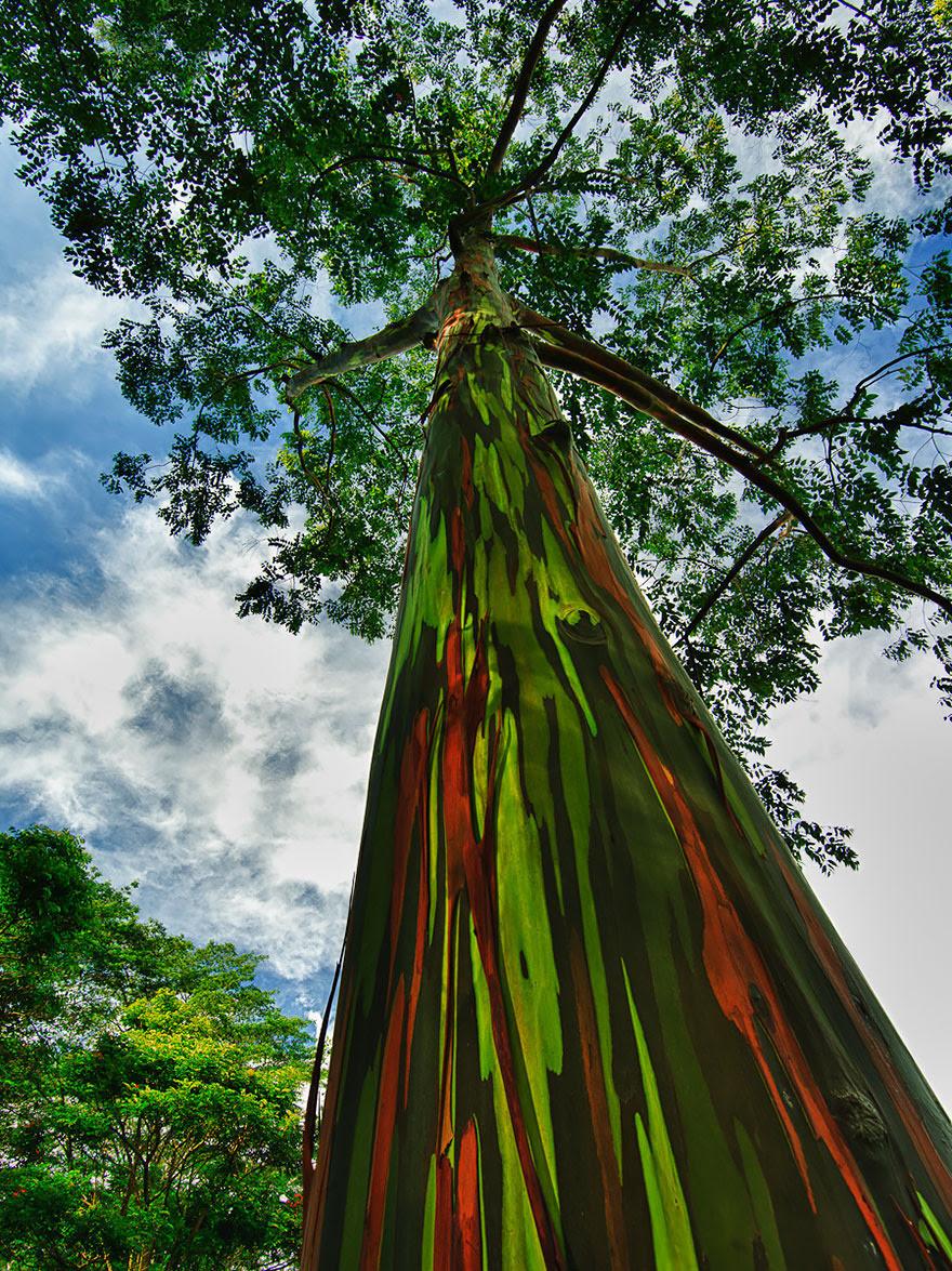 trees-rainbow-eucalyptus-by-jwilsonnorton