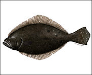 Summer Flounder illustration new