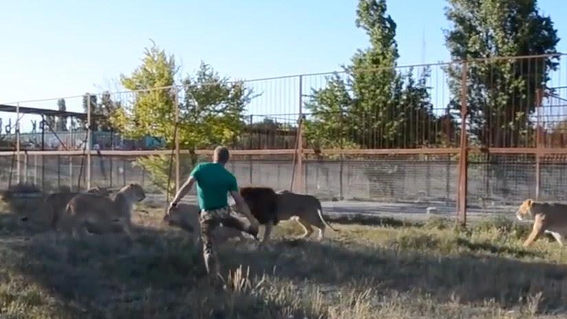 VIDEO: Cuidador de zoo ruso dispersa a un grupo de 7 leones 'armado' con una chancla