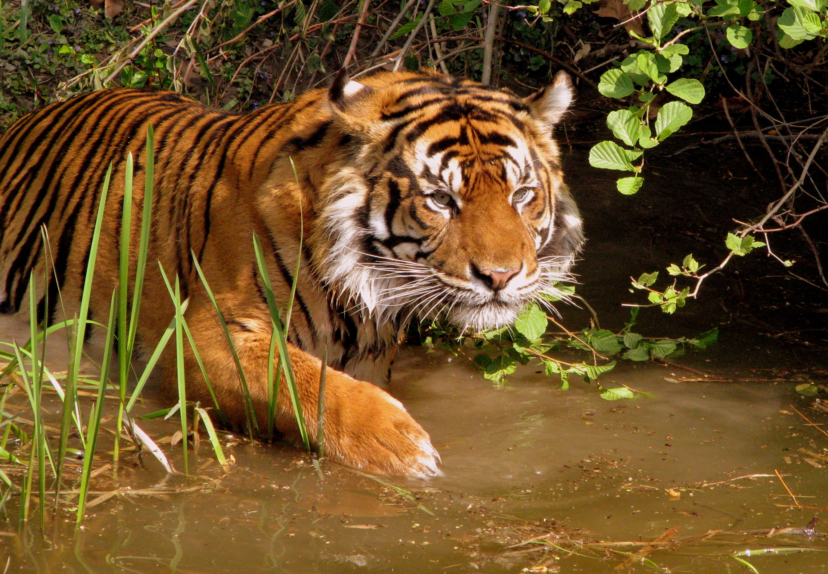 http://upload.wikimedia.org/wikipedia/commons/2/23/Tiger_2.jpg