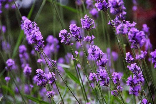 https://upload.wikimedia.org/wikipedia/commons/c/c0/Lavender_7.JPG
