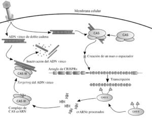 500px CRISPR espanol 1