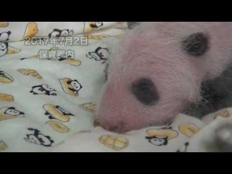 La naissance d'un panda du zoo de Tokyo au Japon