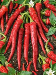capsicum hot peppers