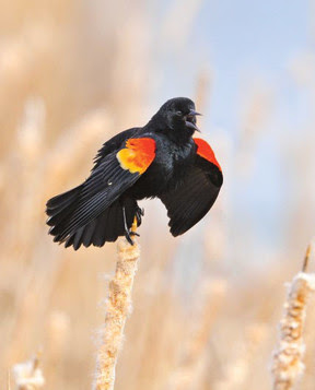 A male red-winged blackbird sings from atop his perch. Credit Bill Marchel