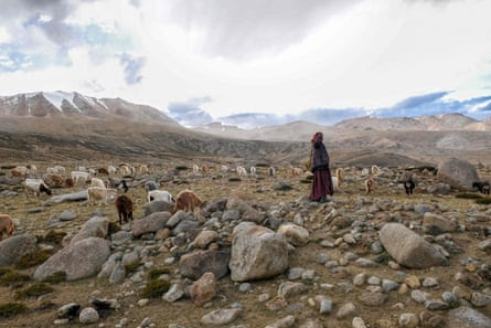 A Changpa nomad shepherd watches over his pashmina goats near Korzok, a village in the Leh district of Ladakh