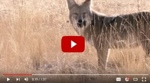 coyote video thumbnail