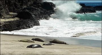 Hawaiian Monk Seals on Nihoa