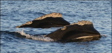Two Right Whales