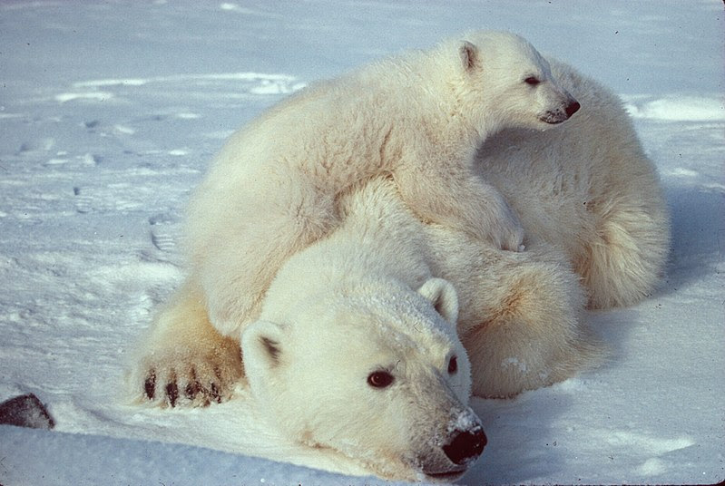 File:Ursus maritimus Polar bear with cub 2.jpg