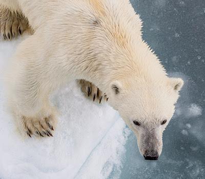 Polar Bear in the Arctic