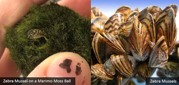 Invasive Zebra Mussels Hitchhike to AK on Aquarium Moss Balls