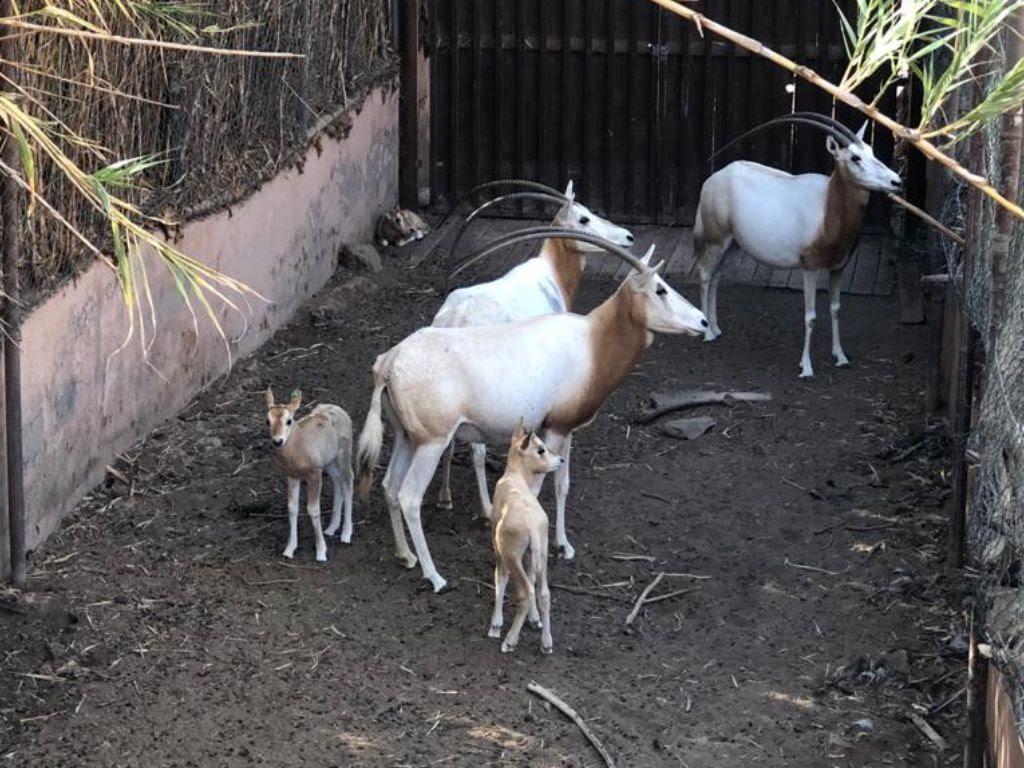 192718d2 0592 4a0a b338 9a889053ca87 - Oasis WildLife Fuerteventura anuncia nacimiento de 5 nuevas crías de Orix Cimitarra,especie extinta en la Naturaleza