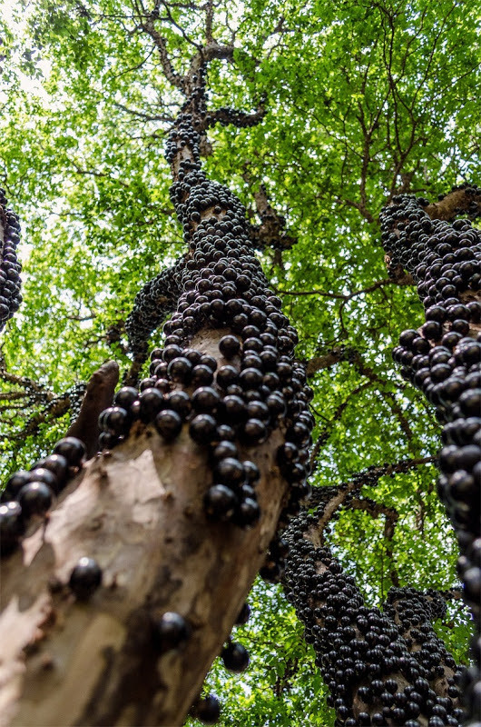 trees-Jabuticaba-is-a-Brazilian-grape-tree-found-in-the-states-of-Minas-Gerias-and-Sao-Paulo-in-the-south-of-Brazil.-The-fruit-grows-directly-from-the-trunk-and-branches-of-the-tree.