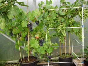 Fig 'Brown Turkey', pot-grown Grapes 'Regent' & 'Muscat of Alexandria' in early August - with a clothes horse supporting the massively heavy crop!