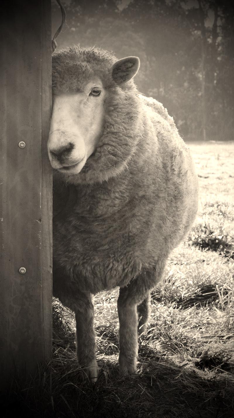 tom clark sheepish