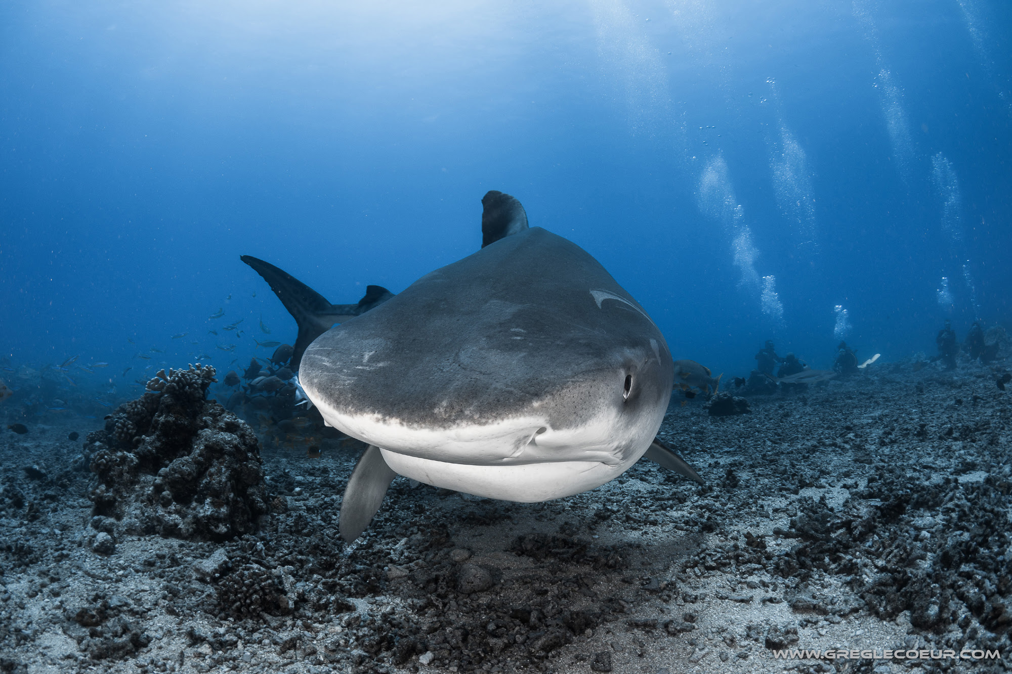Tiger shark, French Polynesia, Tahiti