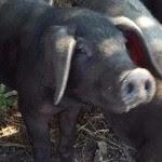 Ninja Cow pig