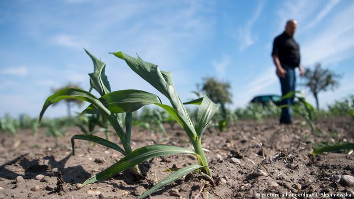 Dried out corn field (picture-alliance/dpa/M. Skolimowska)
